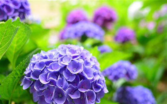 Fond d'écran Hortensia bleu, ressort