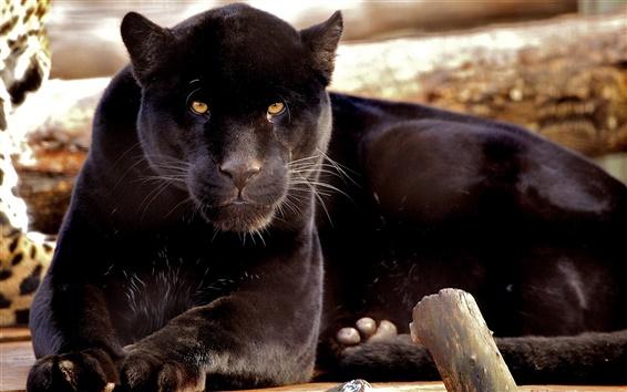 Papéis de Parede Carnívoros, pantera negra