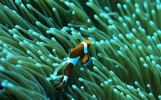 Wallpaper Clown fish, coral, underwater