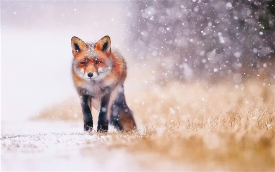Papéis de Parede Inverno frio, neve, raposa