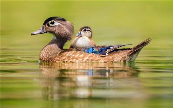Wallpaper Duck swimming, water, motherhood and cub