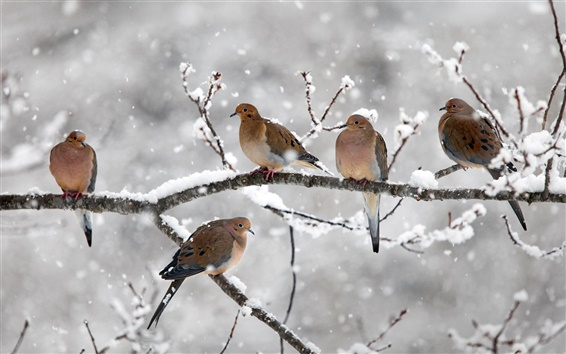 Wallpaper Five birds, mourning doves, twigs, snow, winter, Nova Scotia, Canada