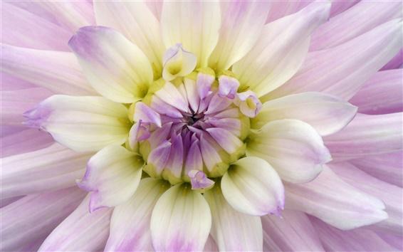 배경 화면 꽃 매크로, 달리아, 보라색, 흰색 꽃잎