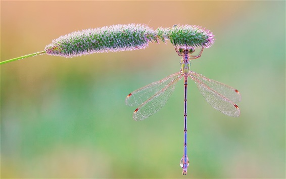 Wallpaper Insect, dragonfly, grass, morning, dew drops