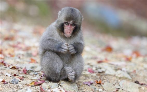 Papéis de Parede Do-Japão, macaco, sentado, rochas