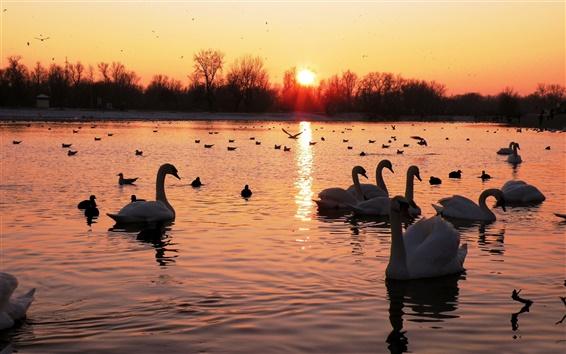 Обои Озеро, лебеди, птицы, закат, деревья, красное небо