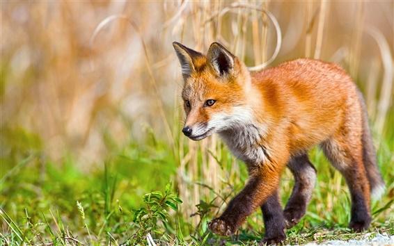Обои Маленькая лисица ходит