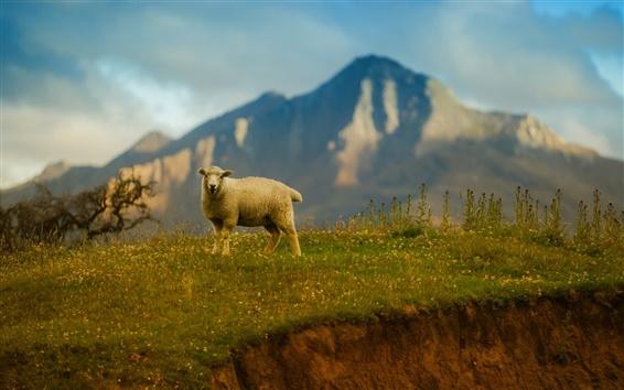 Fond d'écran moutons solitaire, montagnes, herbe
