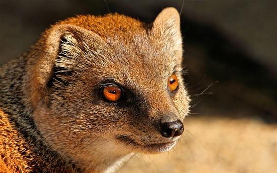 Fond d'écran Mongoose, prédateur, yeux rouges