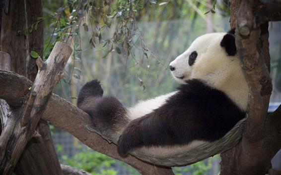 Обои Panda релаксации, отдых, дерево