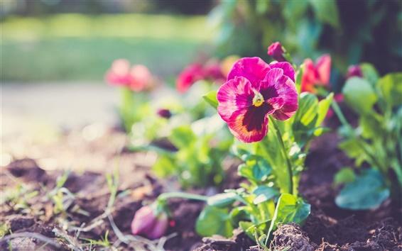 Papéis de Parede flores do amor perfeito, pétalas vermelhas, planta, bokeh