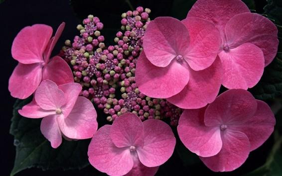 Fond d'écran Fleurs roses close-up, hortensia