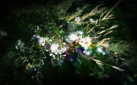 배경 화면 식물 근접 촬영, 잎, 흰 꽃, 태양 광선