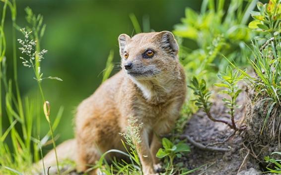 Papéis de Parede Predator, mangusto close-up, capim