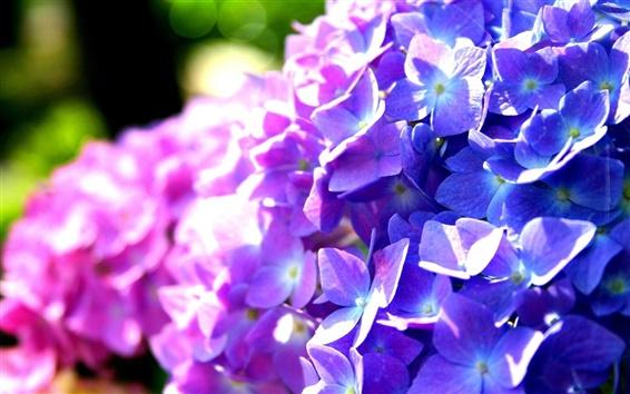 Обои Фиолетовый и синий цветы гортензии