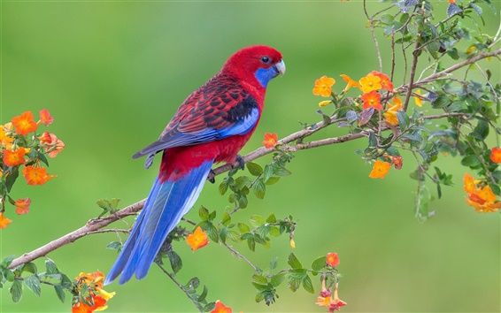 Обои Красные синие перья птиц, попугаев, цветы, веточки