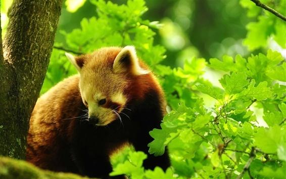 Fondos de pantalla Panda rojo en el árbol, hojas verdes