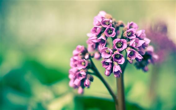 Wallpaper Spring, purple little flowers, macro photography