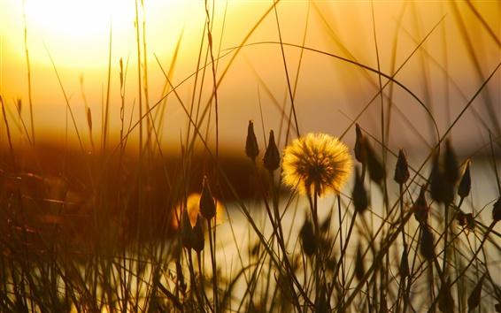 Papéis de Parede Pôr do sol, grama, flores, crepúsculo, início do verão