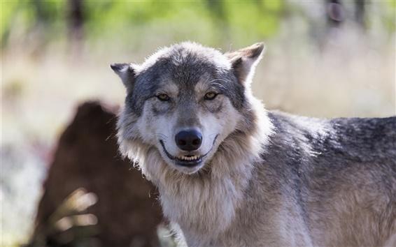Обои Волк выглядеть как улыбка