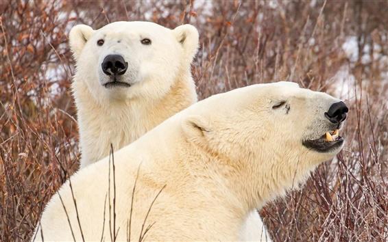 Обои Два белых медведей, филиалы
