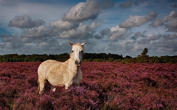 Wallpaper White horse in the lavender field