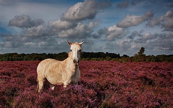 Papéis de Parede Cavalo branco no campo da alfazema