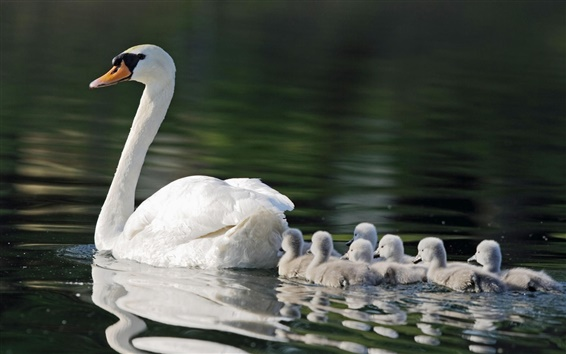 Wallpaper White swans, mother, children, pond