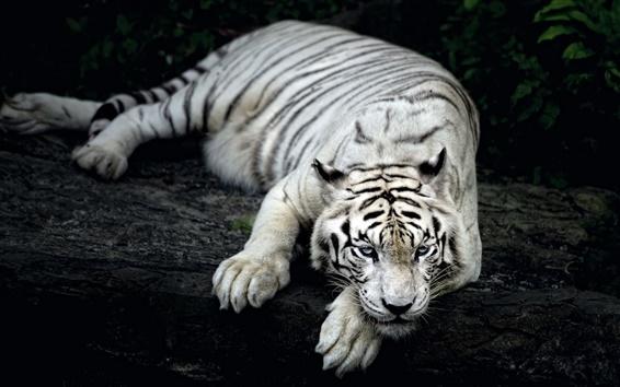 Wallpaper White tiger rest