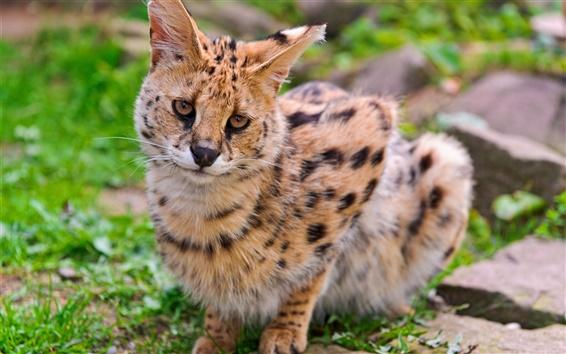 Wallpaper Wild cat, serval