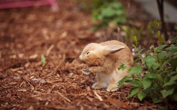 Wallpaper Wild rabbit