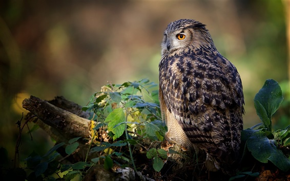 Wallpaper Bird close-up, owl rest, leaves, tree
