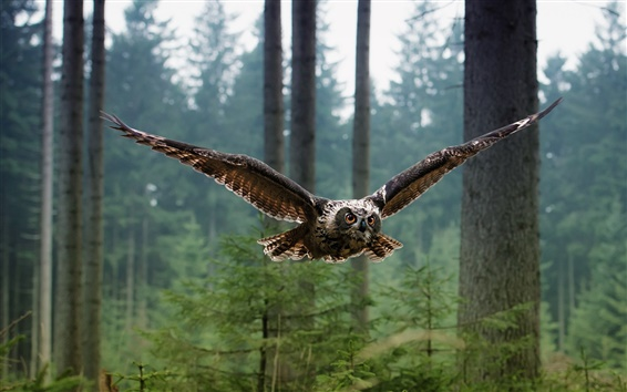 Wallpaper Birds of owl flying in the forest