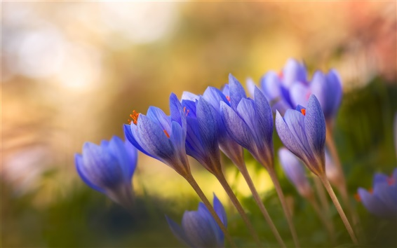 Wallpaper Blue crocuses, flowers close-up, bokeh