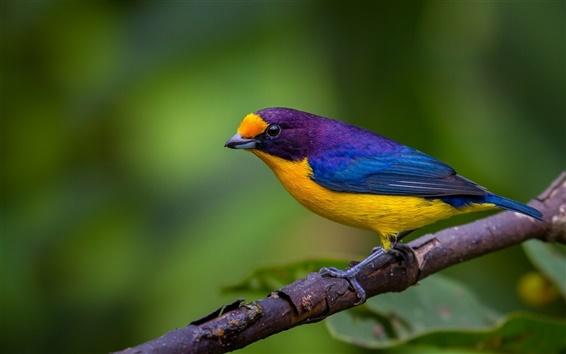 Fond d'écran Bleu plumes jaunes oiseau, branche d'arbre