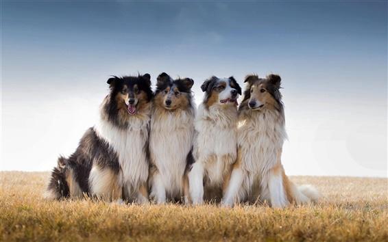 Fond d'écran Collie, berger australien, chiens