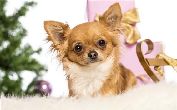 배경 화면 귀여운 애완 동물, 여우 개