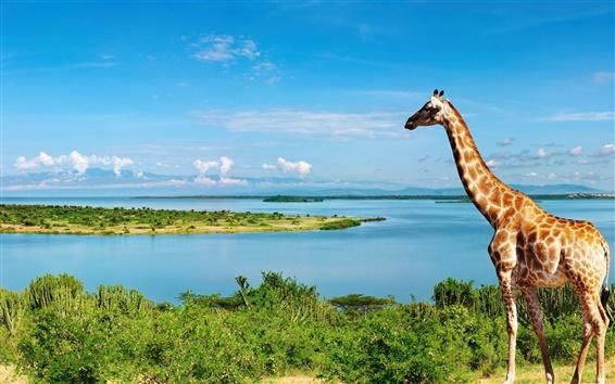 Papéis de Parede Giraffe no lado do rio Nilo, na África