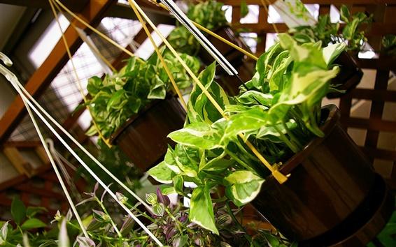 壁紙 ハングアップ緑の植物、ポトス