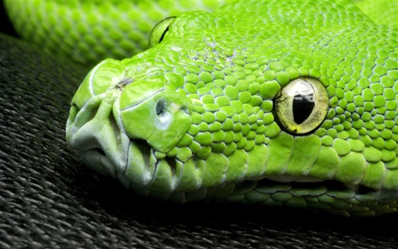 Wallpaper Green snake, eyes, scales, head close-up