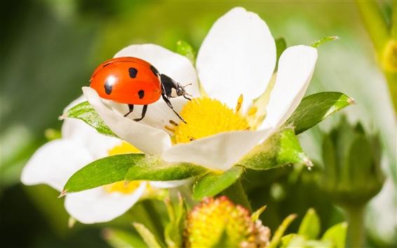 Обои Божья коровка, жук, насекомое, клубника цветок, макро фотография