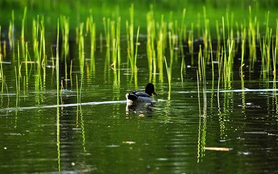 壁紙 湖、葦、アヒル、水