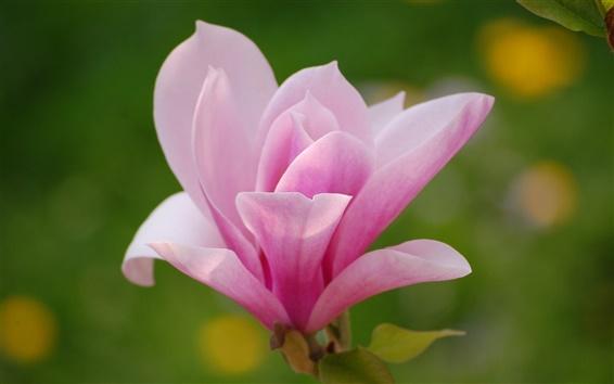 Wallpaper Magnolia flower, pink petals, macro photography