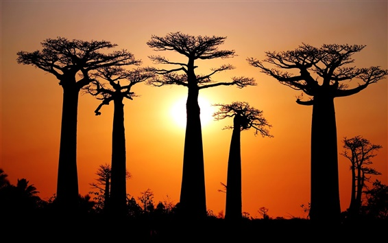 Wallpaper Many baobabs, sunset, Morondava, Madagascar
