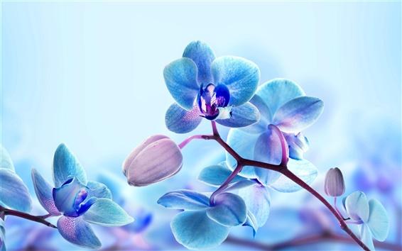 Fond d'écran fleurs d'orchidée, pétales de couleur bleue