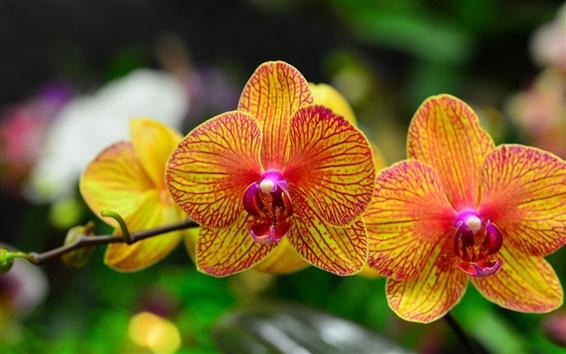 Обои Орхидея лепестки, фаленопсис, оранжевый красный