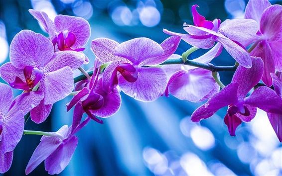 Fond d'écran Phalaenopsis, orchidées, fleurs roses, branche