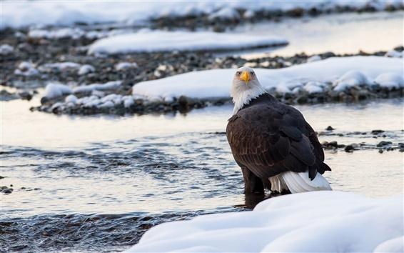 배경 화면 프레데터, 대머리 독수리, 조류 근접 촬영, 겨울, 눈