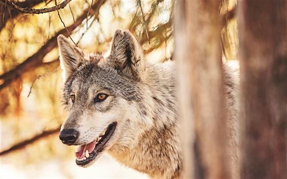 Обои Хищник, волк в лесу, животные крупным планом