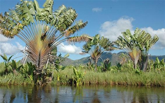 Papéis de Parede Ravinala palmeiras, rio, Madagascar